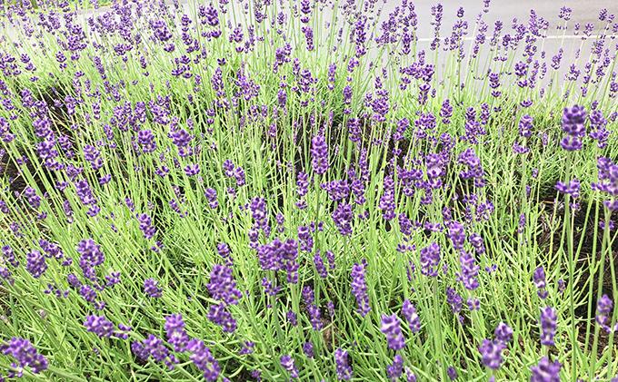 かみふらの産ラベンダーのRoom Fragrance 花の香り