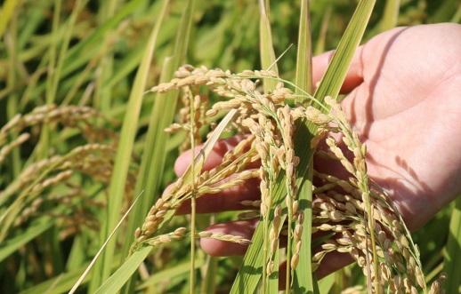 【数量限定】令和2年産 茨城県産お米食べくらべ12kgセット(コシヒカリ5kg・あきたこまち5kg・ミルキークイーン2kg)