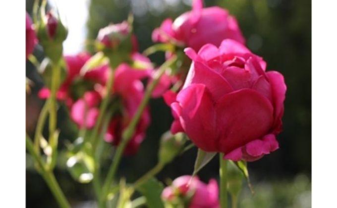 【Apple Roses】バラ苗 'マイスタージンガー' 大苗6号鉢植え