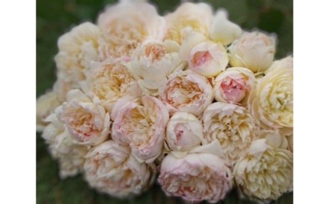 【Apple Roses】バラ苗 'ザ・サイエンティスト'大苗6号鉢植え