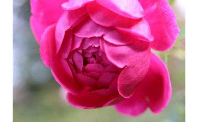 【Apple Roses】バラ苗 'パブ・ロック' 大苗6号鉢植え