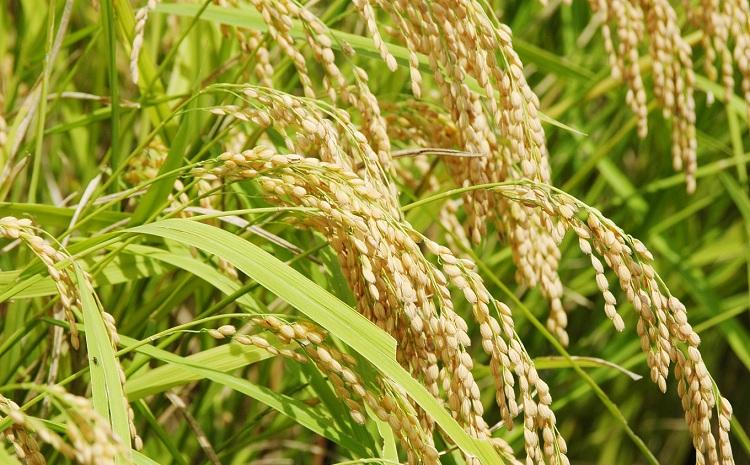 美しい環境で作られた「わち米」令和3年度産5kg