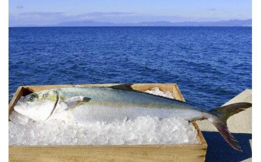 橘湾産養殖ヒラス(ヒラマサ) 片身約1.75kg