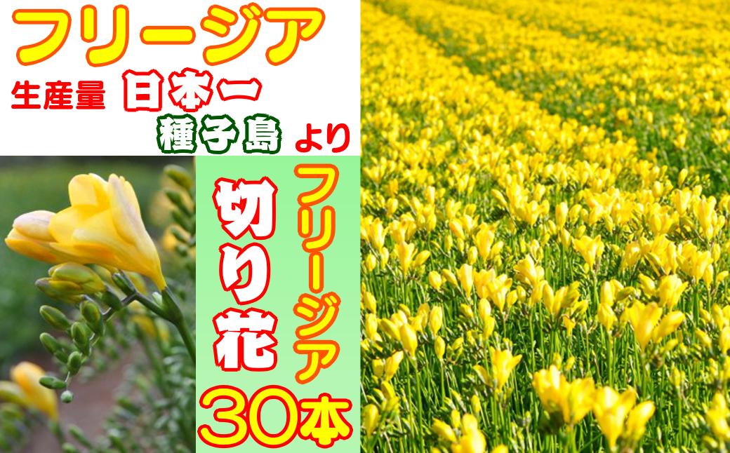 種子島 フリージアの切り花セット30本:イエロー 300pt