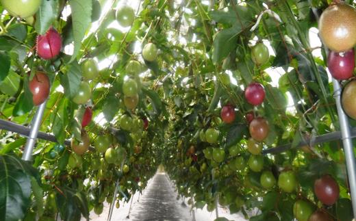 種子島産 パッションフルーツB(20個入り) 420pt