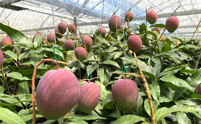 【数量限定!】徳之島発!天城町産の宝果樹園のマンゴーA品2kg