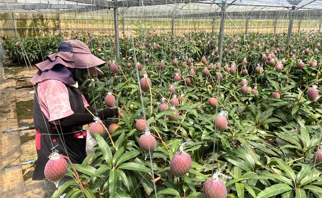 【数量限定!】徳之島発!天城町産の宝果樹園のマンゴー ご家庭用 2kg
