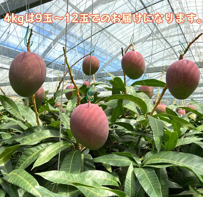 【数量限定!】徳之島発!天城町産の宝果樹園のマンゴー ご家庭用 4kg