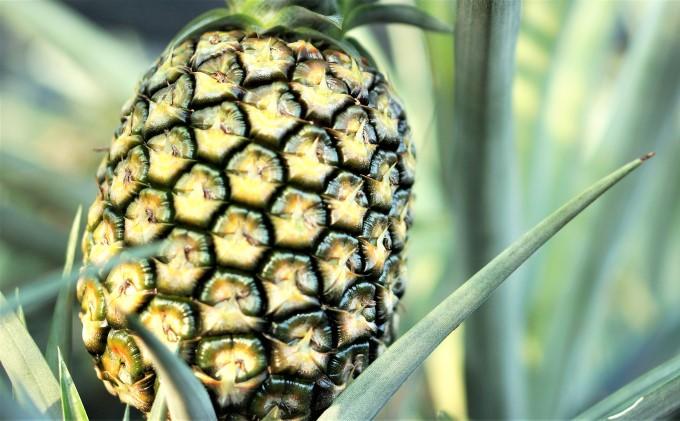 【2021年発送】西表島 『たくみ農園』島パイン(ハワイ種)約4kg(3~4玉)