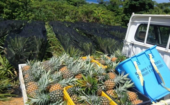 【2021年発送】★水鴨農園【先行受付】完熟 パインアップル 約3kg
