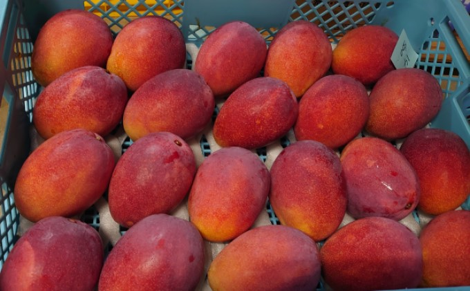 【2021年発送】ますみ農園 完熟 アップルマンゴー 約2kg(3~6玉)